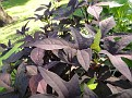 Plants Names DX7 174