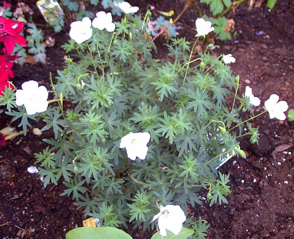 photo geranium sanguineum 39 album 39 geranium album trond photo and video sharing. Black Bedroom Furniture Sets. Home Design Ideas