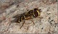Eupeodes corollae - Vanlig Markblomsterflue