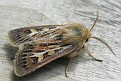 Cerapteryx graminis - Vanlig Gressfly