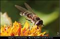 Syrphus torvus female - Håret Hageblomsterflue hunn