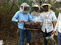 A Bee Yard in Alotenango, Guatemala. This Apiary has 250 very active hives in production. They manage 1200 total.  Observing and assisting with Hive Inspections. Some are Africanized, but they continuously kill that queen and introduce a European.  Genera