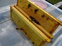 The Process of Extracting Honey / Here are the fully capped frames for extraction of honey.