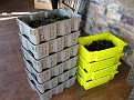 Grape Picking at Natali's Vineyard 10-21-09 (42)