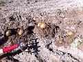 Potatoes in November!!!  Feels Like Digging up $$$!!!  :-)