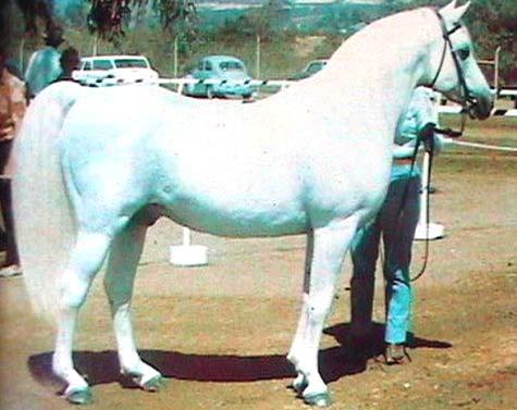 FERNEYN (sire of Ferzon) grey stallion (Ferseyn x Moneyna) Pictured at age 22