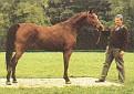 ARABELLA (Fason x Albania, by Gwarny) 1983 bay mare bred by Bialka
