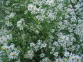 Asters, my birth flower