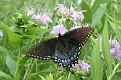 Spicebush Swallowtail #3