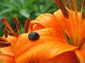lily with snail