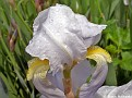 BeardedIris003