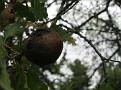 Andricus coriarius insect Quercus (2)