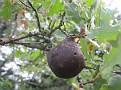 Andricus coriarius insect Quercus (3)