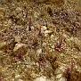 Sedum cyprium (9)