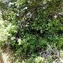 Rosa micrantha subsp  chionistrae (2)
