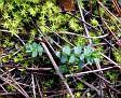 Euphorbia apios (6)