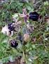 Ophrys hybrid Ophrys mammosa x  Ophrys ferrum (1)