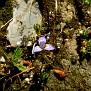 Moraea mediterranea, syn  Gynandriris monophylla (13)
