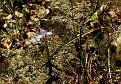 Moraea mediterranea, syn  Gynandriris monophylla (14)