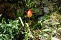 Tulipa agenensis (1)