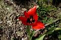 Tulipa agenensis (6)