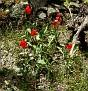 Tulipa agenensis (9)