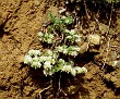paronychia (3)