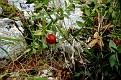 Ruscus aculeatus, Ρούσκος ο ακιδωτός  (7)