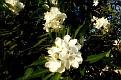 Nerium oleander (12)
