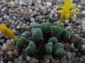 Conophytum altum