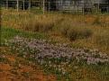 Tooraweena flowers 001