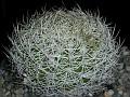 Discocactus zehntneri araneispinus -HU440