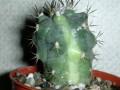 Turbinicarpus gielsdorfianus