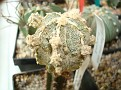 Astrophytum myriostigma onzuka 'Hakujo'