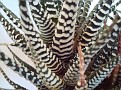 Haworthia fasciata 'wide white band form'