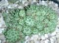 Orostachys spinosus v minimus