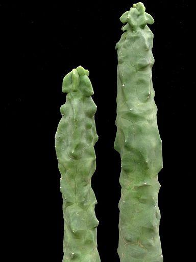 Hildawinteria colademononsis or Cleistocactus polanica