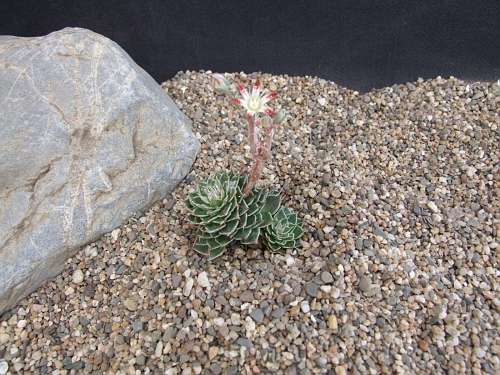 Graptopetalum filiferum