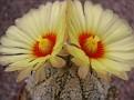 Astrophytum asterias `Super Kabuto`