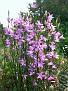 Wiesen-Glockenblumen