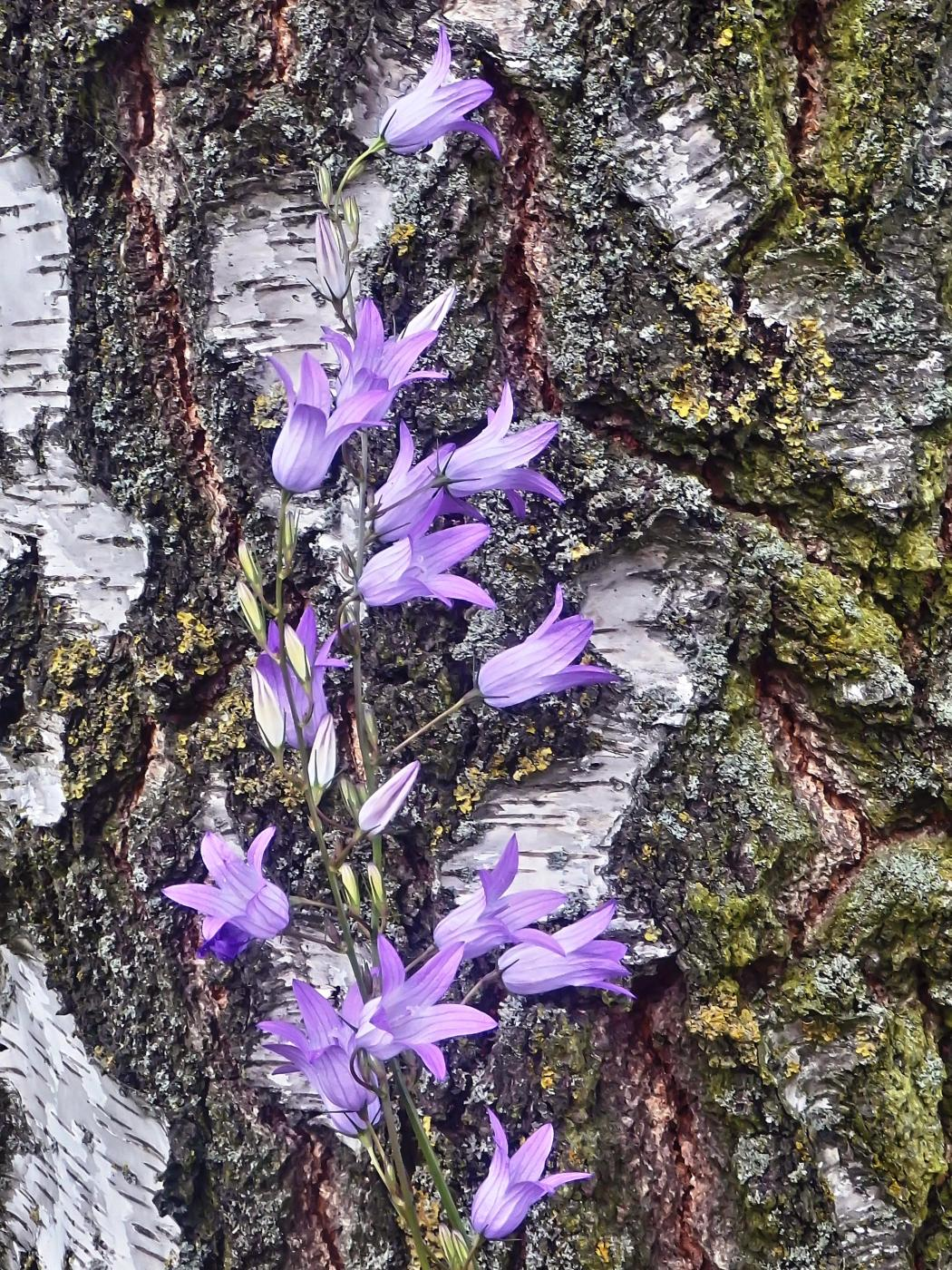 Die Glockenblumen läuten