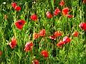 Poppies am Wegesrand