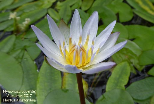 Nymphaea capensis