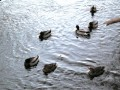Mallards, Billings Bridge