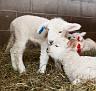 S12 Lambs-14