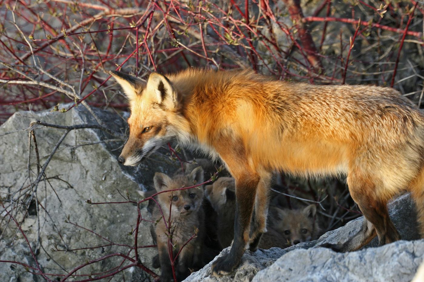April Fox Series #14