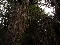 Curtain Fig Tree