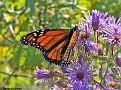 MonarchButterfly008