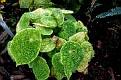 Begonia  ficicola (2)