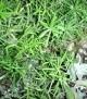 Asparagus declinatus